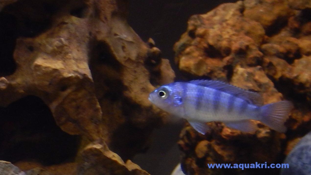 Female Kenyi Cichlid