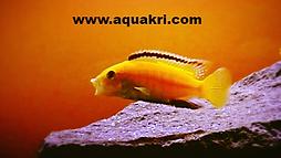 Yellow Lab cichlid _ www.aquakri.com