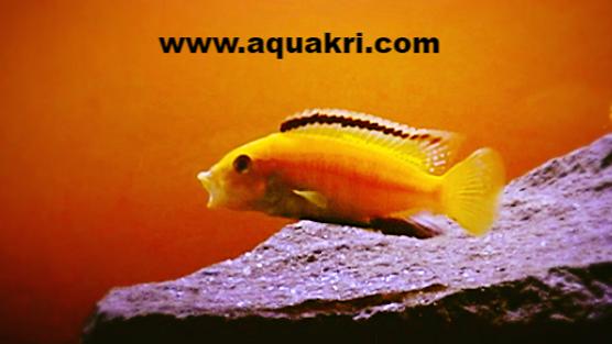 Yellow Lab cichlid _ aquakri.com