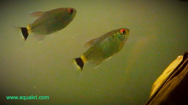 Red Eye Tetra Male & Female difference
