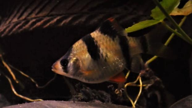 Female Tiger Barb with eggs | www.aquakr