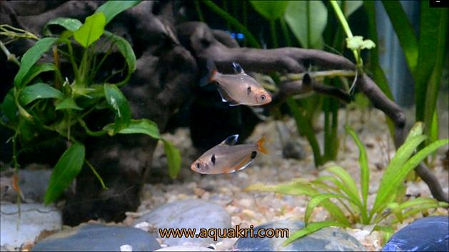 Serpae Tetra Male & Female