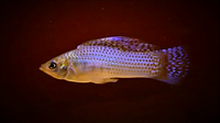 Sailfin molly pic _ aquakrri_edited.png