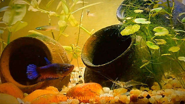 Female Betta Fish in Community Aquarium