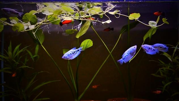 Blue Gourami Aquarium | www.aquakri,com