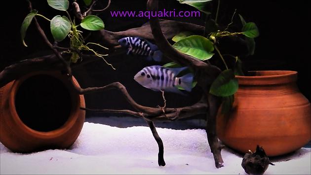 Convict Cichlid Aquarium | www.aquakri.c