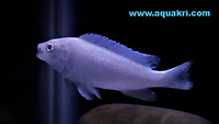 Snow White Cichlid