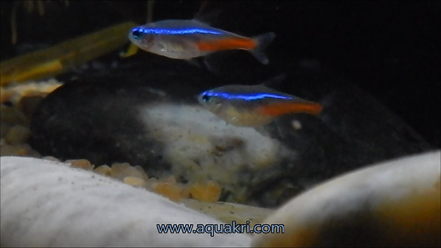Male and Female Neon Tetra