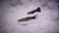Male & Female Half black Guppy fish