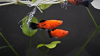 Tank Mates for Cherry Barb | Platy Fish | aquakri