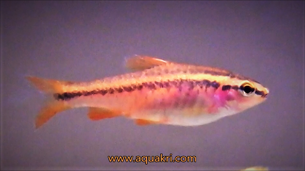What your cherry barb needs? | aquakri