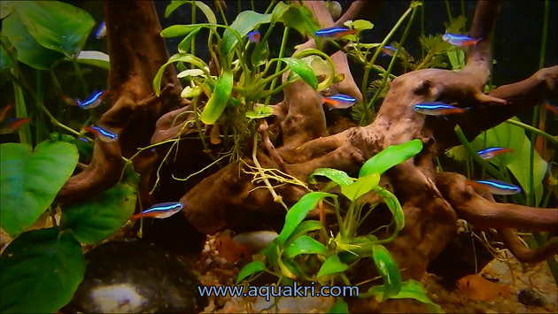 Neon Tetra Aquarium Care