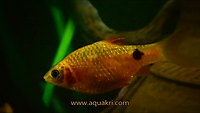 Rosy Barb Tank mate for Serpae Tetra