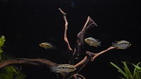 Salvini Cichlid can be tank mate for Convict Cichlids