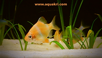 Albino Tiger Barb _ aquakri
