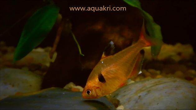 Serpae Tetra Aquarium Care
