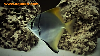 Brackish Water Fish | Mono Angelfish | aquakri