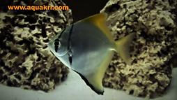 Mono Angelfish _ aquakri.com