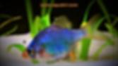 Types of Barb Fish | Green Tiger Barb | aquakri