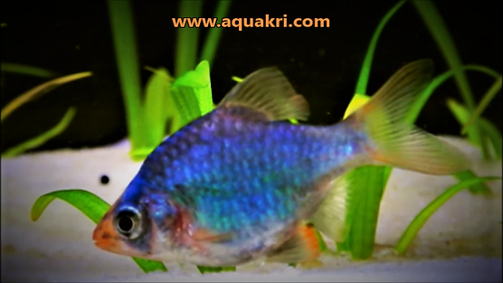 Types of Barb Fish | Green Tiger Barb | aquakri