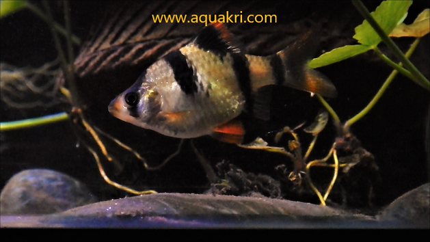 Female Tiger Barb | www.aquakri.com