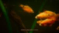 Rosy Barb Aquarium Care