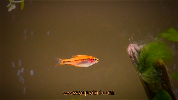 Cherry Barb Fry Care | aquakri
