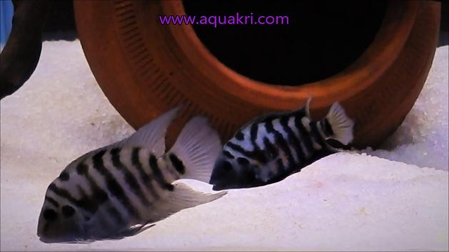 Male & Female Convict Cichlids