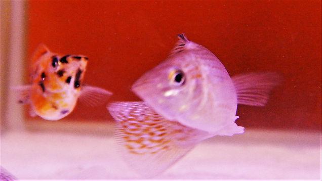 Molly Fish | aquakri.com