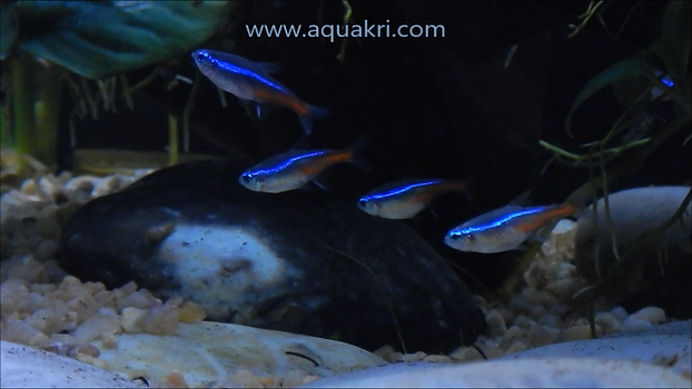 Breeding Neon Tetras