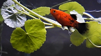 Tank Mates for Serpae Tetra | Platy Fish