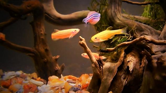 Golden Zebra Fish | www.aquakri.com
