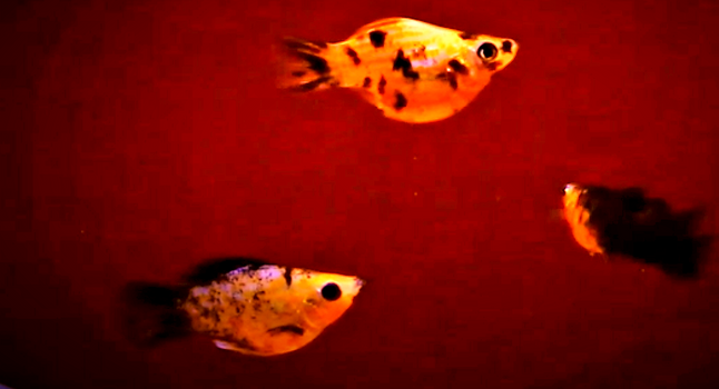 Male & Female Ballon Molly | aquakri.com