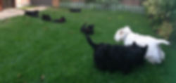 Cucciolo Scottish Terrier