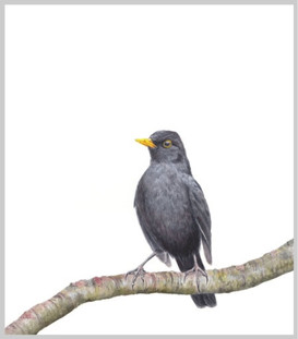 Blackbird on the Lookout