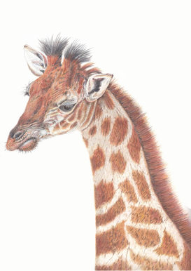 Baby Giraffe in coloured pencil