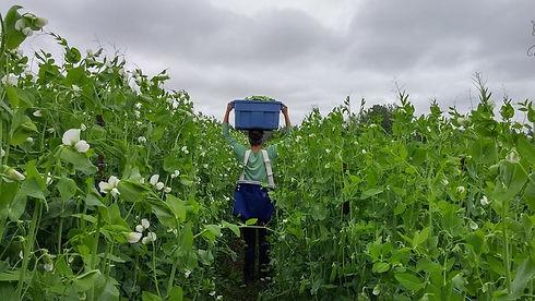 Organic Farm Farming Peas Snap Woman Veggies Fresh Local PEI Prince Edward Island