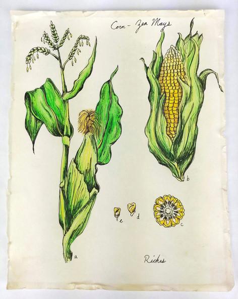 Corn Botanical Illustration, Paper, Colored Pencil, Pen, 2019