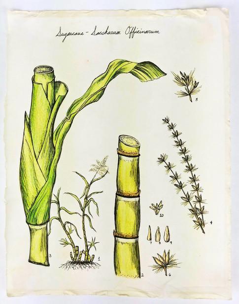 Sugarcane Botanical Illustration, Paper, Colored Pencil, Pen, 2019