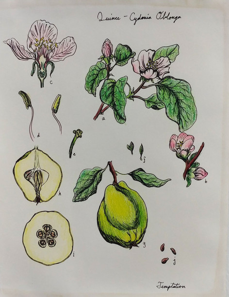 Quince Illustration, Paper, Colored Pencil, Pen, 2018