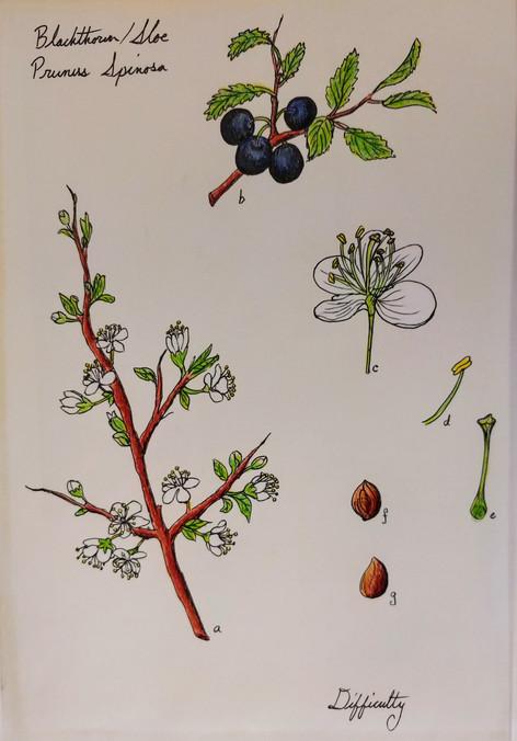 Blackthorn Illustration, Paper, Colored Pencil, Pen, 2018