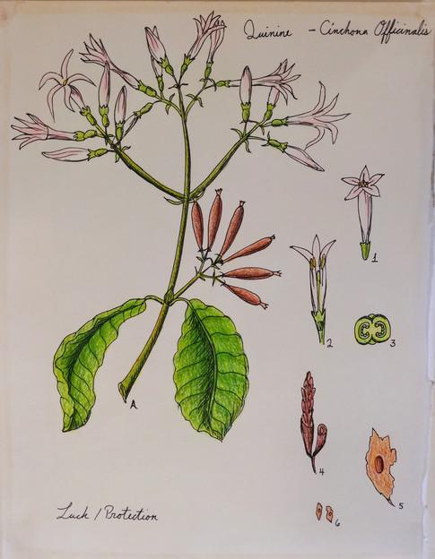 Cinchona (Quinine) Illustration, Paper, Colored Pencil, Pen, 2018