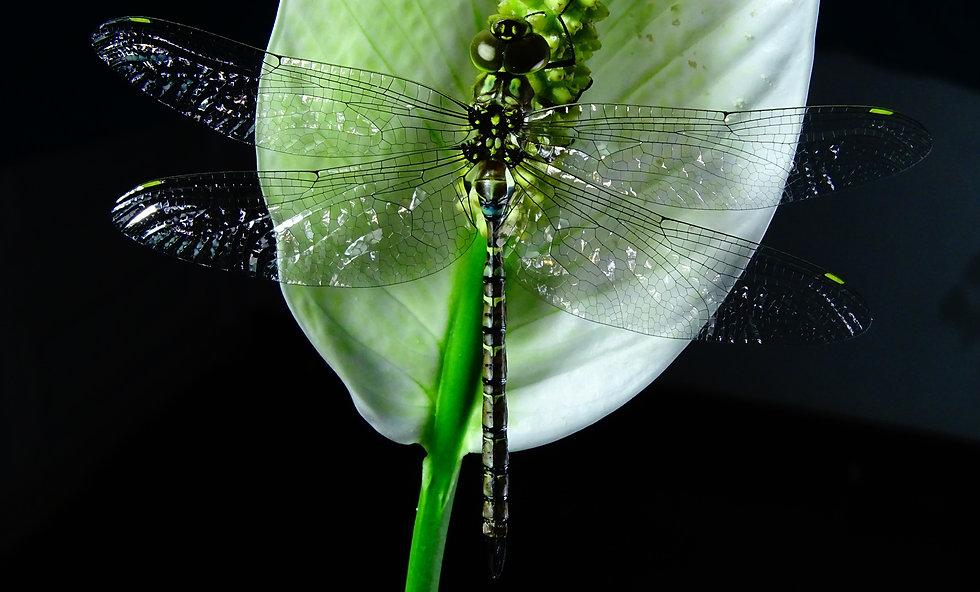 anisoptera-4837002_edited.jpg