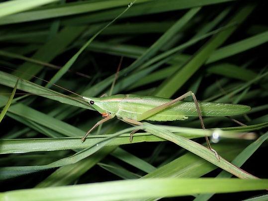 オガサワラクビキリギス