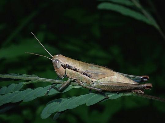 タイワンコバネイナゴ