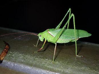 ヘリグロツユムシ