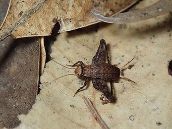 コバネマツムシ中齢幼虫