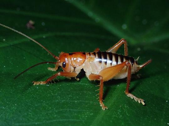コバネコロギス