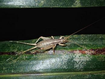リュウキュウカネタタキ中齢幼虫