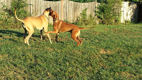 Dogs playing in the large fenced yard.